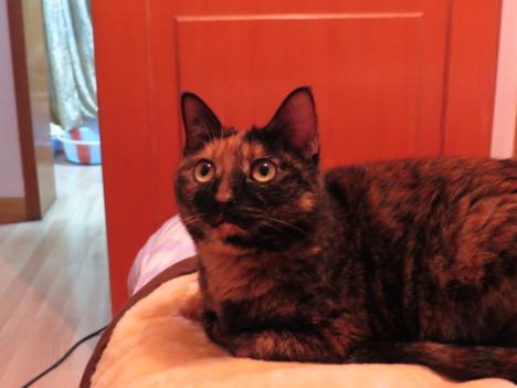 超级有特色的玳瑁猫,新年招财猫