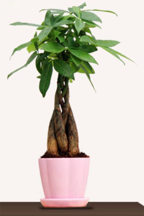 【小花农】办公室桌面盆景绿植盆栽辫子发财树麻花辫子型发财树